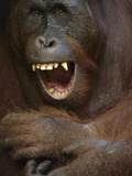 Orangutan (Pongo Pygmaeus) Young Male Yawning  Tanjung Puting Nat&#39;l Park  Borneo  Malaysia