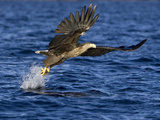 White-Tailed Eagle (Haliaeetus Albicilla) Catching Fish  Norway