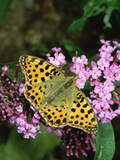 Queen of Spain Fritillary Butterfly (Issoria Lathonia) on Flower  Europe