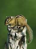 Eastern Chipmunk (Tamias Striatus) on Snag  North America