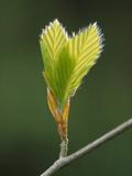 Leaves from European Beech (Fagus Sylvatica) Typical Food for Fat Dormouse (Glis Glis) Austria