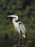 Great Blue Heron (Ardea Herodias) Perching  Florida