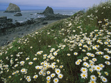 Daisies Along Coastline with Sea Stacks in Background  Redwood Nat&#39;l Park  California