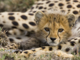 Cheetah (Acinonyx Jubatus) Cub Portrait  Maasai Mara Reserve  Kenya
