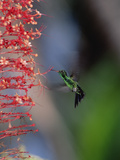 Blue-Tailed Hummingbird (Amazilia Cyanura) Hovering Near Red Flowers  Honduras