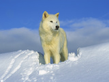 Arctic Wolf (Canis Lupus) Portrait of White Wolf in the Snow  Idaho