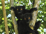 Black Lemur (Lemur Macaco) Males  Lokobe Nature Special Reserve  Madagascar