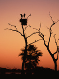 Jabiru Stork (Jabiru Mycteria) Couple at Nest  Sunset  Pantanal  Brazil