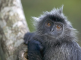 Silvered Leaf Monkey (Trachypithecus Cristatus) in Tree  Kuala Selangor A178Reserve  Malaysia