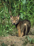 Coyote (Canis Latrans) Alert Pup at Entrance of Den  North America