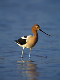 American Avocet (Recurvirostra Americana) in Breeding Plumage Wading in Water  Texas