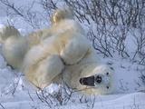 Polar Bear (Ursus Maritimus) Large Male Stretching and Yawning  Manitoba  Canada