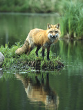 Red Fox (Vulpes Vulpes) Reflected in Lake  North America