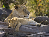 African Lion (Panthera Leo) Cub Resting on Rock with its Mother  Masai Mara Nat'l Reserve  Kenya