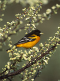 Baltimore Oriole (Icterus Galbula) Male Perching in Tree  Long Island  New York