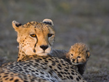 Cheetah (Acinonyx Jubatus) 8 Day Old Cub Climbing on Mother at Sunrise  Maasai Mara Reserve  Kenya