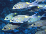 School of Yellow Spot Emperor Fish