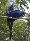 Hyacinth Macaw (Anodorhynchus Hyacinthinus) Pair  Pantanal  Brazil