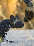 African Wild Dog (Lycaon Pictus) Adult with Six to Eight Week Old Pup  Okavango Delta  Botswana