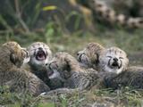 Cheetah (Acinonyx Jubatus) Five Day Old Cubs Calling for Mother  Maasai Mara Reserve  Kenya