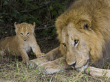 African Lion (Panthera Leo) Cub Approaches Adult Male  Masai Mara Nat'l Reserve  Kenya
