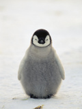 Emperor Penguin (Aptenodytes Forsteri) Chick  Antarctica