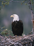 Bald Eagle (Haliaeetus Leucocephalus) on Nest with Chick and Fresh Kill  Alaska