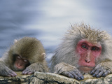 Japanese Macaque (Macaca Fuscata) Mother and Juvenile  Joshinetsu Plateau Nat'l Park  Japan
