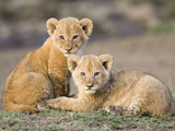 African Lion (Panthera Leo) Four to Five Week Old Cubs  Vulnerable  Masai Mara Nat'l Reserve  Kenya