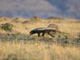 Honey Badger (Mellivora Capensis) Walking Through Grassland  Masai Mara  Kenya