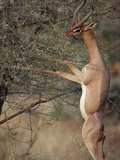 Gerenuk or Waller's Gazelle (Litocranius Walleri) Feeding in Thornbush