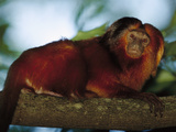 Golden Lion Tamarin (Leontopithecus Rosalia) in Tree  Atlantic Forest  Ilheus  Bahia  Brazil
