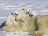 Polar Bear (Ursus Maritimus) Cubs on Top of their Mother  Wapusk Nat'l Park  Manitoba  Canada