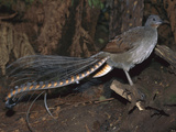 Superb Lyrebird (Menura Novaehollandiae) Male  Yarra Ranges Nat&#39;l Park  Australia