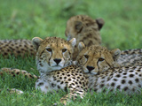 Cheetah (Acinonyx Jubatus) Older Cubs  Ngorongoro Conservation Area  Tanzania  East Africa