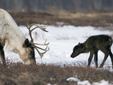 Caribou (Rangifer Tarandus) Mother and Calf  Kamchatka  Russia