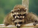 Raccoon (Procyon Lotor) Three Orphan Babies  Aspen Valley  Ontario