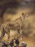 Cheetah (Acinonyx Jubatus) Mother With  Adolescents  Samburu National Reserve  Kenya