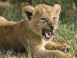 African Lion (PantheraLeo) 6 to 7 Week Old Cub Yawning  Vulnerable  Masai Mara Nat'l Reserve  Kenya