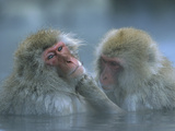 Japanese Macaque (Macaca Fuscata) Pair Grooming in Hot Spring  Joshinetsu Plateau Nat&#39;l Park  Japan