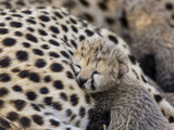 Cheetah (Acinonyx Jubatus) 7 Day Old Cub Resting Against Mother in Nest  Maasai Mara Reserve  Kenya