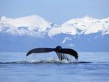 Humpback Whale (Megaptera Novaeangliae) Tail Against Snowy Mountains  Alaska