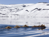 Brown Bear (Ursus Arctos) Mother and Three Cubs Swimming  Kamchatka  Russia