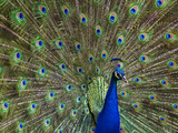 Indian Peafowl (Pavo Cristatus) Male with Tail Fanned Out in Courtship Display