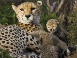 Cheetah (Acinonyx Jubatus) Mother and Thirteen Day Old Cubs in Nest  Maasai Mara Reserve  Kenya