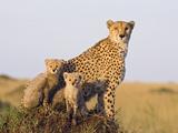 Cheetah (Acinonyx Jubatus) Mother and Eight Week Old Cubs  Maasai Mara Reserve  Kenya