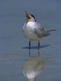Royal Tern (Sterna Maxima) Calling  Fort Myers Beach  Florida