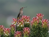 Cape Sugarbird (Promerops Cafer) Male Perching on Protea Flowers (Mimetes Protea)