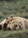 Alaskan Brown Bear or Grizzly Bear (Ursus Arctos) Mother and Cub Resting  Denali   Alaska