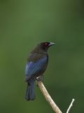 Bronzed Cowbird (Molothrus Aeneus) Perched on a Stick  Costa Rica